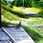 13-ruffed grouse