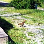 14-ruffed grouse