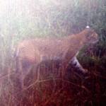 16-bobcat