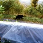 3-bear