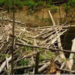 35-beaver logs