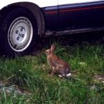 7-rabbit